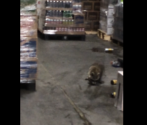 Drunk Raccoon Video Goes Viral