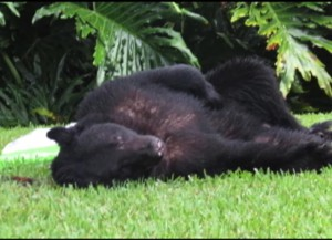Florida Bear Eats Dog Food – And Takes A Nap