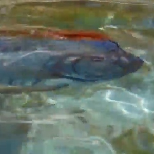 Rare Video Of Giant Oarfish Goes Viral