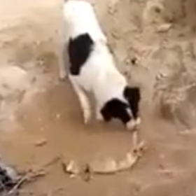 Dog Buries Dead Puppy In Iraq In Viral Video