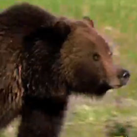 Hikers at Yellowstone National Park Sustain Injuries After Bear Attack