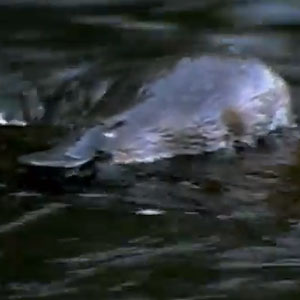 'Godzilla Platypus' Species Discovered In Australia