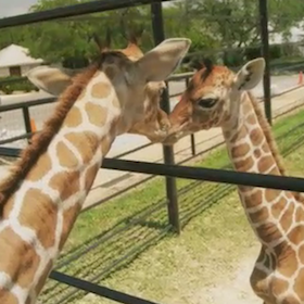 Twin Giraffes Born In Texas [VIDEO]
