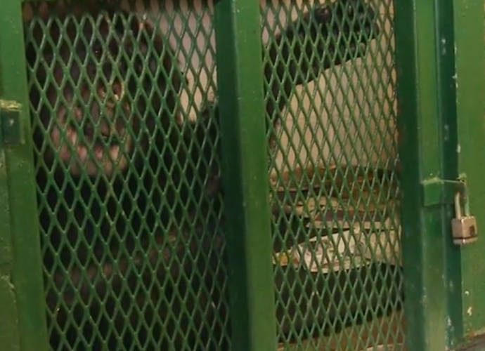 Tommy The Chimp Denied Personhood By New York Court