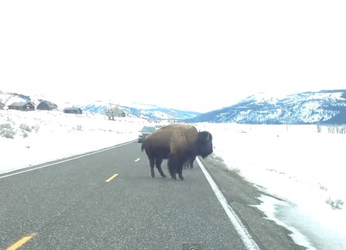 Yellowstone Buffalo Charges Into Parked Car In Viral Video