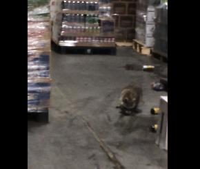 Drunk Raccoon Video Goes Viral