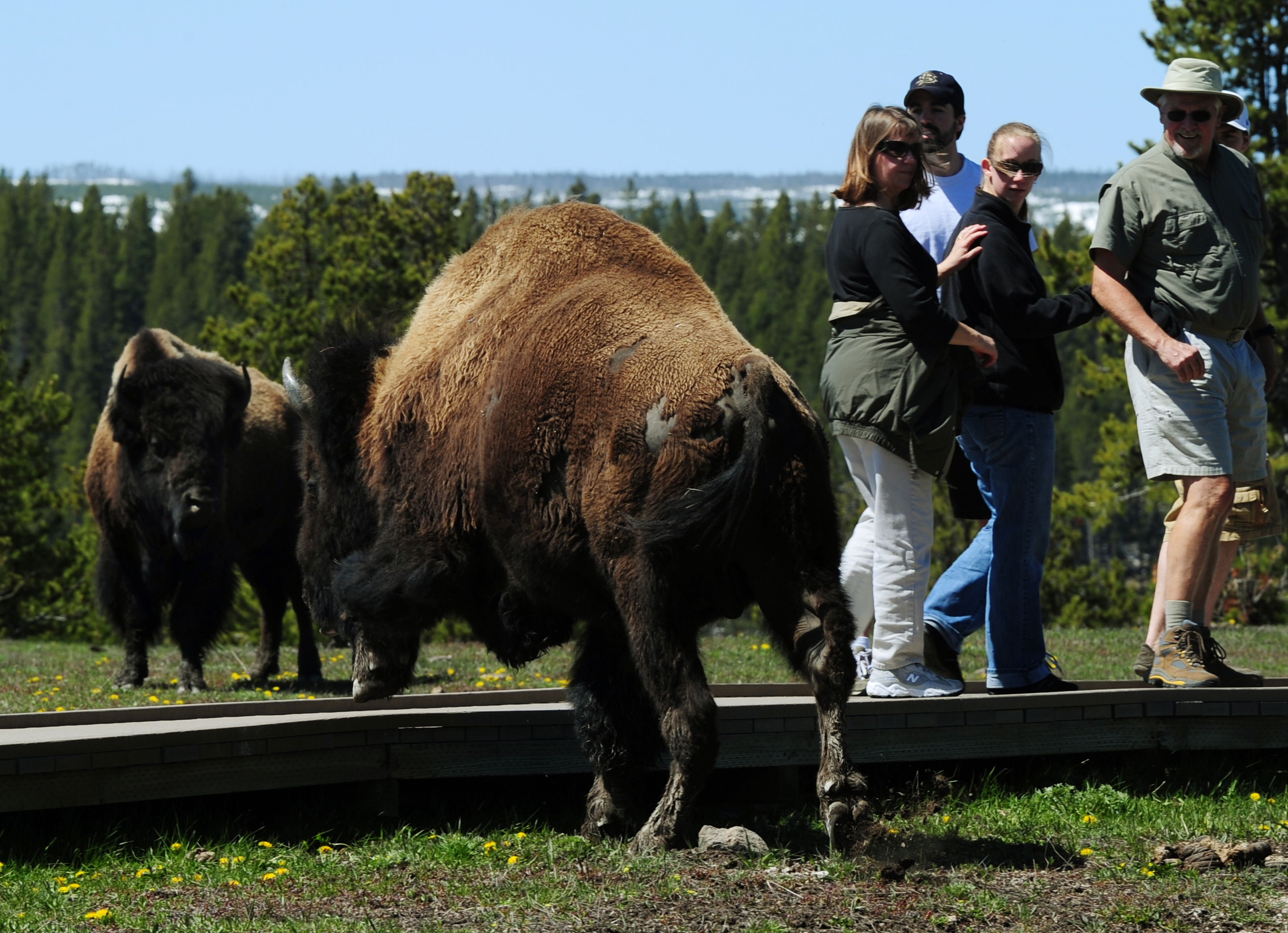 Bison Attacks Woman In Yellowstone Park