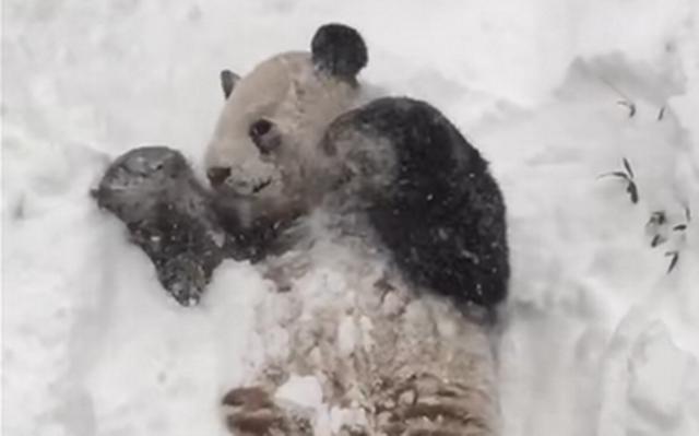 Tian Tian, Smithsonian's Panda, Enjoys The Snow In Viral Video