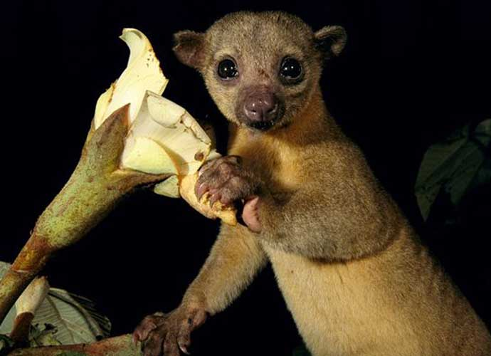99-Year-Old Woman Wakes Up To Kinkajou On Her Chest