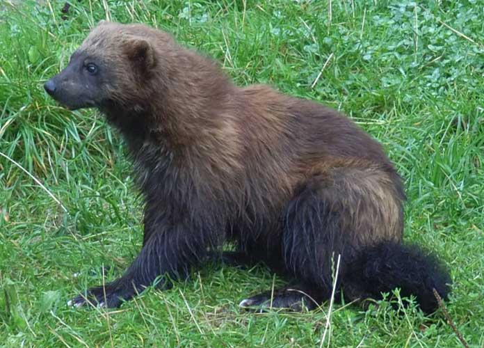 North Dakota's First Wolverine In 150 Years Is Shot And Killed