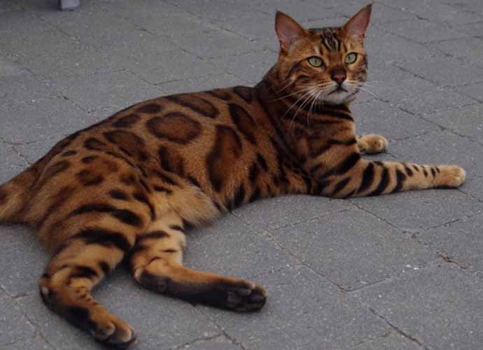 Beautiful Belgian Cat Named Thor Stirs The Internet