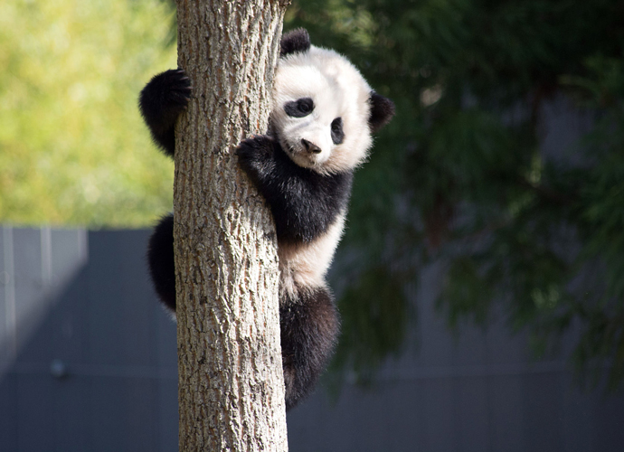 Panda Escapes From Copenhagen Zoo