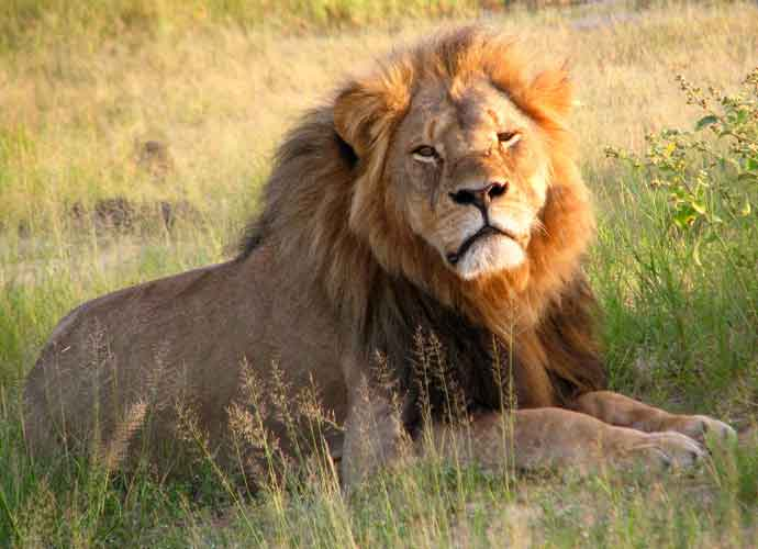 Cecil The Lion Was Allegedly Lured Out Of Protected Area Before Being Shot In 2015
