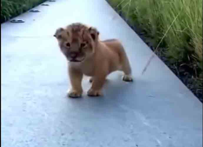 Lion Cub Adorably Attempts To Roar, Internet Falls In Love [VIDEO]