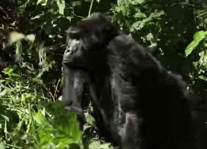 Koko, Beloved Gorilla Who Used Sign Language, Dies At 46