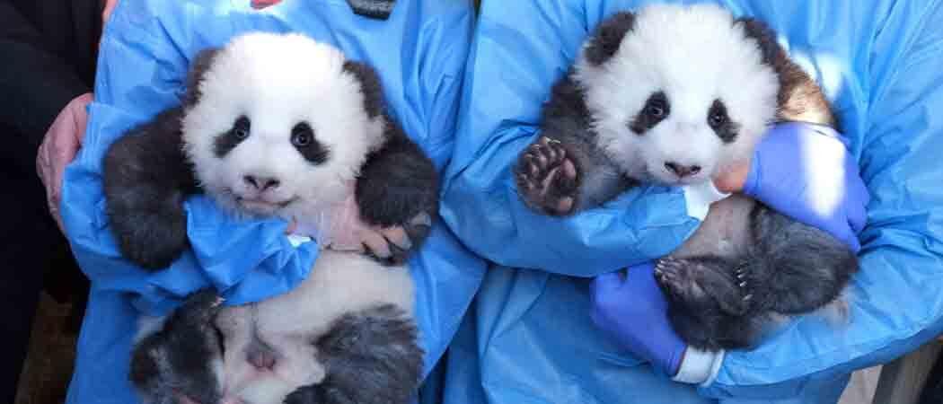 Berlin Zoo Reveals Names Of Male Panda Twin Cubs: Meng Xiang & Meng Yuan [PHOTOS]