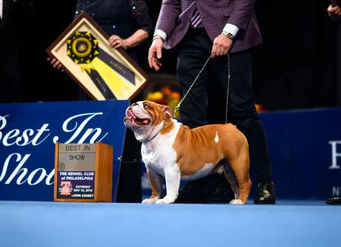 'Thor' The Bulldog Wins 'Best In Show' At 2019 National Dog Show