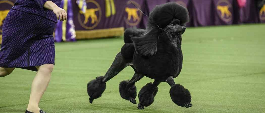Westminster Kennel Club Show Crowns Siba The Standard Poodle Best In Show