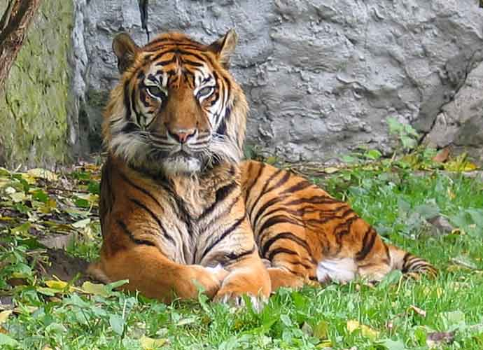 Tiger At The Bronx Zoo Becomes First Big Cat To Come Down With Coronavirus
