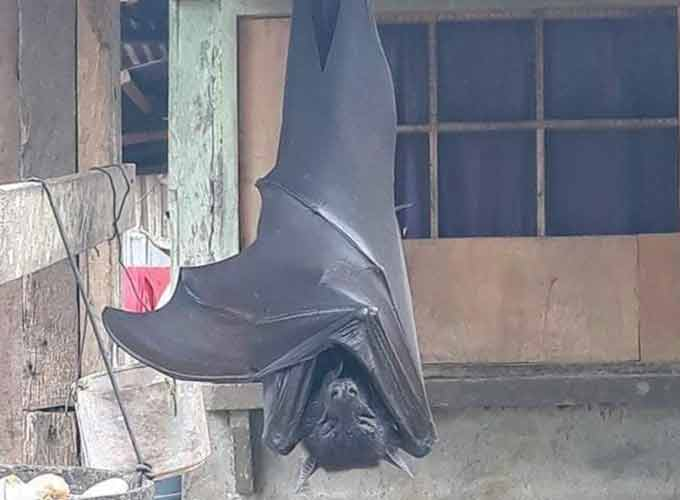 Human-Sized Bat From The Philippines Goes Viral On Twitter