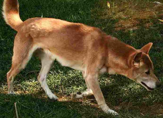WATCH: Researchers Find Rare 'Singing' Dog Thought to be Extinct in the Wild
