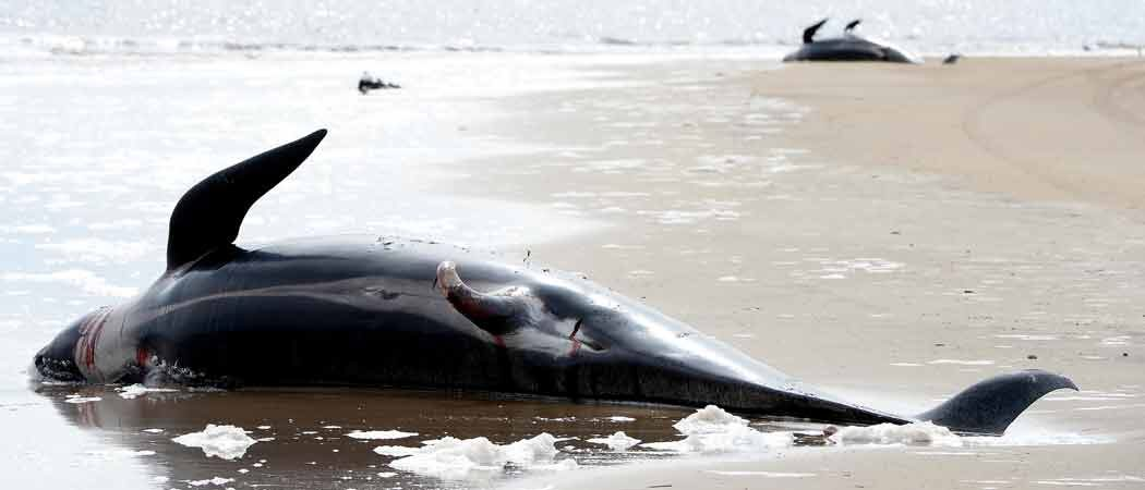 470 Whales Beached In Tasmania's Macquarie Harbor, Rescuers Struggle To Save Hundreds