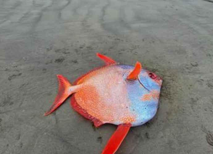 Rare Colorful 100-Pound Opah Fish Washes Up On Oregon Coast