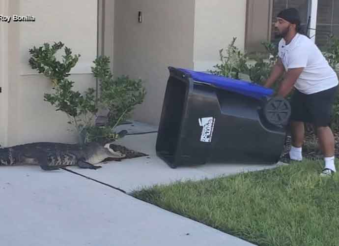 Viral Video Shows Army Vet Eugene Bozzi Capture Alligator In A Trash Can