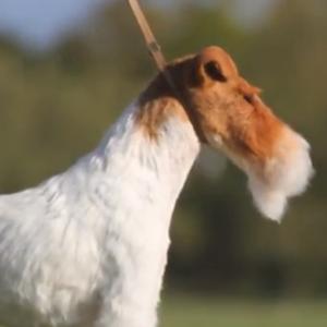 Wire Fox Terrier 'Sky' Wins Westminster 2014 Best In Show