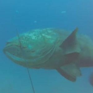 Goliath Grouper Swallows A 4-ft Shark Whole In Viral Video