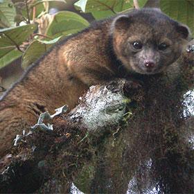 Olinguito: New Mammal Discovered Hiding In Plain Sight