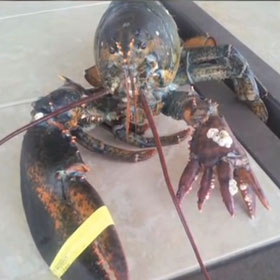 Six-Clawed Lobster Lola On Display At Maine State Aquarium [VIDEO]